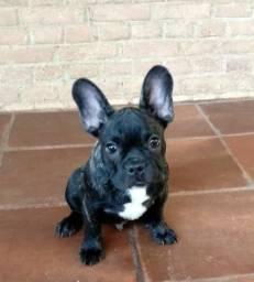 Bulldog Francês Macho 4 meses , Vacinação Completa e Pedigree