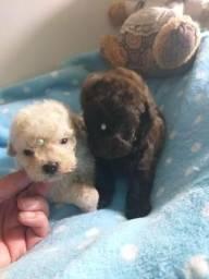 Lindos poodle micro toy super fofinhos!!!