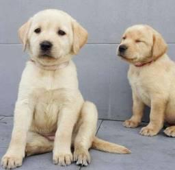 Labrador machos e fêmeas / whats *