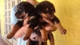 Filhotes de Rottweiler Pais com Pedigree