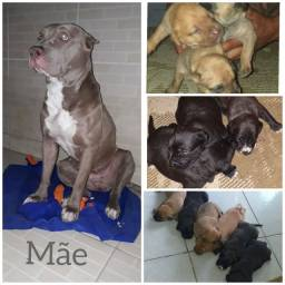 RED NOSE LILAC com AMERICAN BULLY?