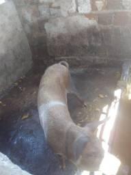 Porca de 50kg Para abate