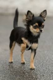 Lindos Chihuahua