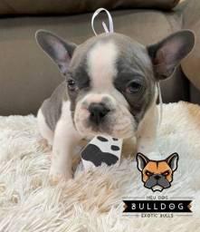 Bulldog francês cinza macho