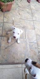 Vende-se filhote macho de Pitbull!!