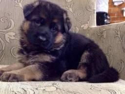 Cães belos de pastor alemão com pedigree microchip