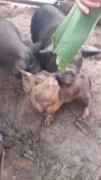 Mine porco cuchito