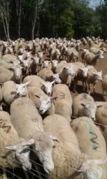 Ovelhas Texel ovinos carneiras