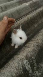 Filhotes mini coelho