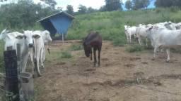 12 vacas nelores media 14/15@