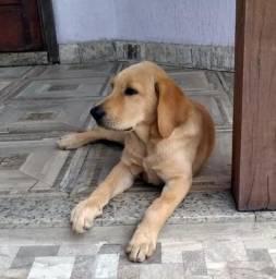 Labrador puro macho
