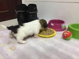 Vendo filhote de Lhasa apso