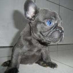 Bulldog francês Blue (imperdível)
