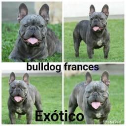 Bulldog frances Exótico quer namorar