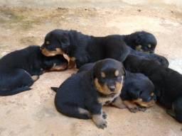 Vende-se lindos filhotes da raça Rottweiler