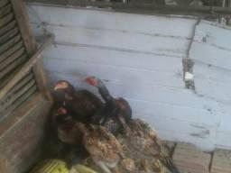 Vendo galinhas carioca