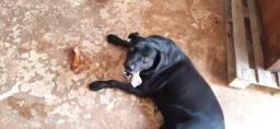 Labrador para cruzar *macho*