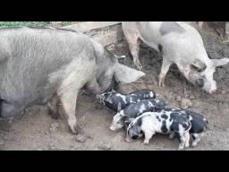 Bacurim e porcas