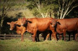 [4t]]Senepol PO -R$ 9.500 em 10x no cheque (Fêmeas Prenhes PO)- Novilhas/Vacas =