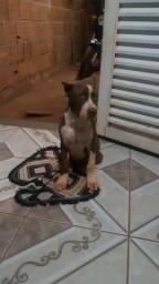 Vendo pitbull 4 meses