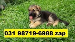 Canil Filhotes Premium Cães BH Pastor Boxer Dálmata Labrador Akita Golden Rottweiler