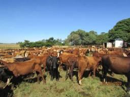 35 vacas com cria