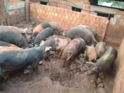 Porcas de cria
