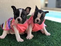 !!!! Maravilhosos !!! Bulldog frances