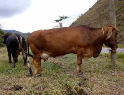 Vendo mini vaca com bezerro