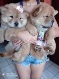 Fofos filhotes Chow Chow com pedigree cbkc