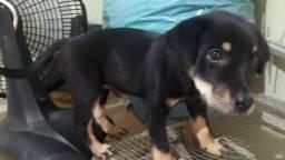 Rottweiler com labrador 350,00