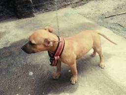 PIT BULL:operar orelha de pit Bull?