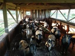 Vendo carneiras (ovinos)
