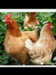 galinhas poedeiras Embrapa 051 e isabrow