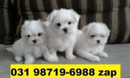 Canil Filhotes Cães Pet Top BH Maltês Basset Fox Lhasa Shihtzu Yorkshire Pug