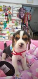 Beagle com vacina vermífugo