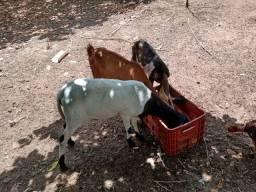 Vendo 6 cabras 1 ovelha