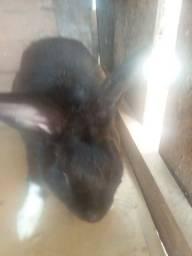 Vendo um coelho de 80 reais