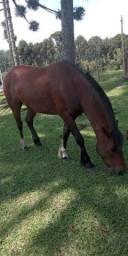 Cavalo Crioulo registrado bom de laço