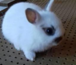 Filhotes de Coelho Anão menor coelho do mundo
