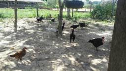 Vende se galinhas e frangos