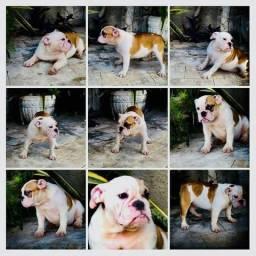Bulldog Inglês padrão de Multi campeão