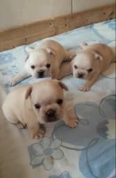 PROMOÇÃO, Bulldog francês machos disponíveis para reserva