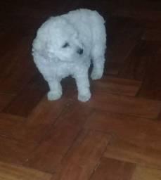 Vende-se cachorro poodle