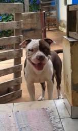 Pit Bull (American Pit Bull Terrier)
