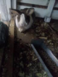 Vendo coelha da raça gigante com filhotinho