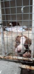 American Pitbull Terrier - Fêmea!