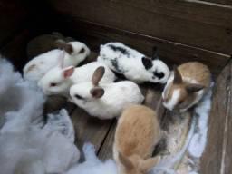 Vendo coelhos cada