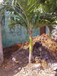 Palmeira - Planta