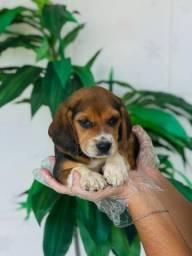 Beagle com suporte veterinario por 6 meses
